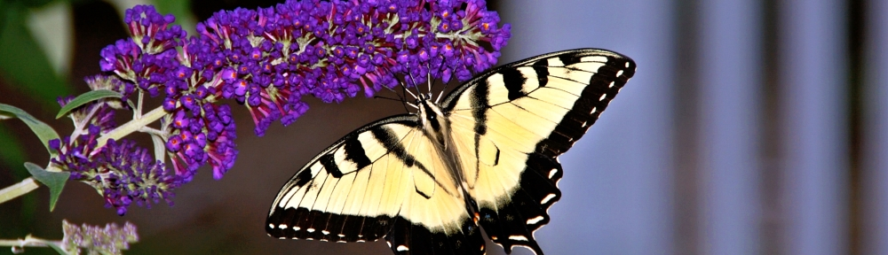 Butterfly by dEj of masqueHysteria (c) 2011