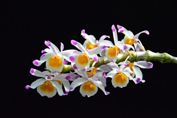 Orchids 2013 Krohns