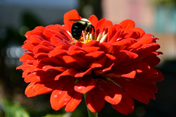 Bee and Orange Red Zinnia