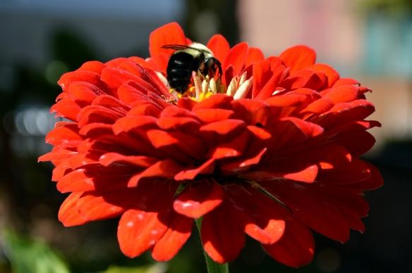 Bee and Orange Red Zinnia