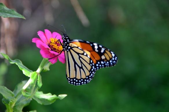 Monarch 001