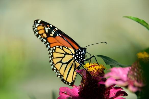 Monarch 023