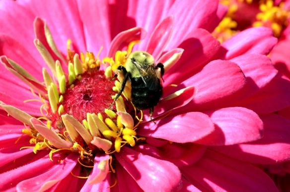 Zinnia and Bee