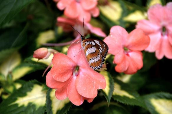 krohnconservatory 2013 butterflies 080