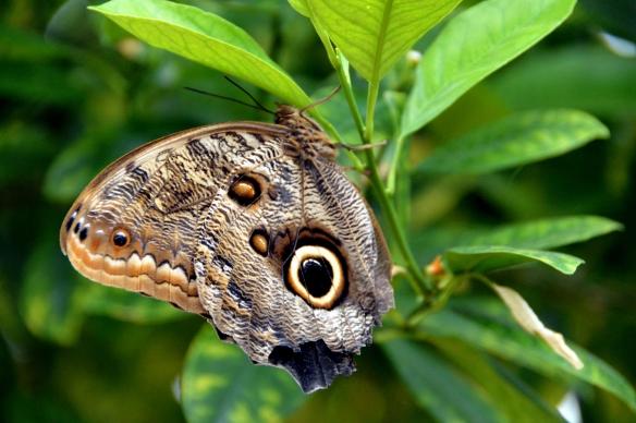 krohnconservatory 2013 butterflies 030