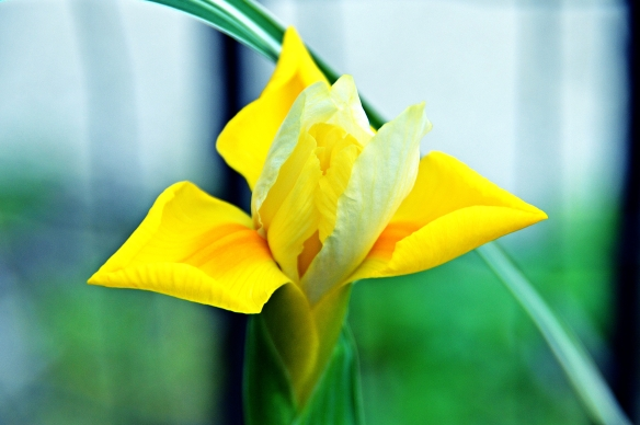 Golden Nugget Iris
