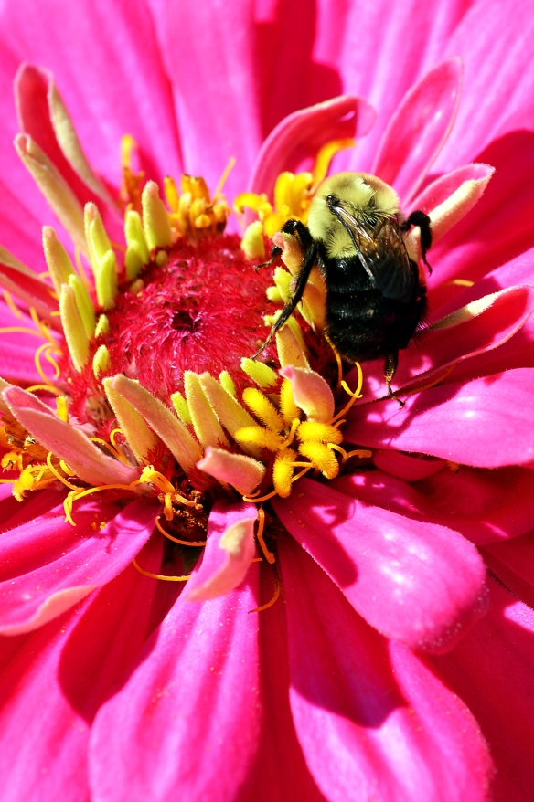 Bumble on Zinnia