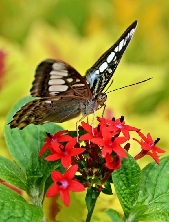 krohnconservatory 2013 butterflies 207der