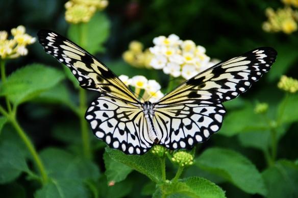 krohnconservatory 2013 butterflies 132 Take Three