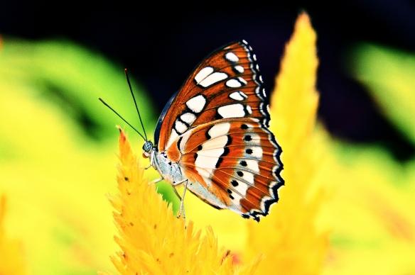krohnconservatory 2013 butterflies 257 Take Three CP
