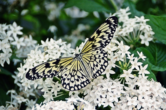 krohnconservatory 2013 butterflies 137