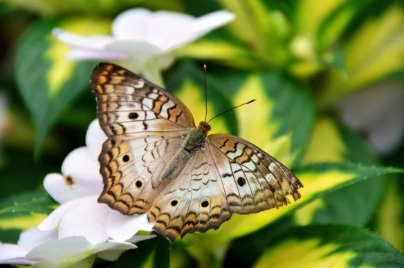 krohnconservatory 2013 butterflies 286