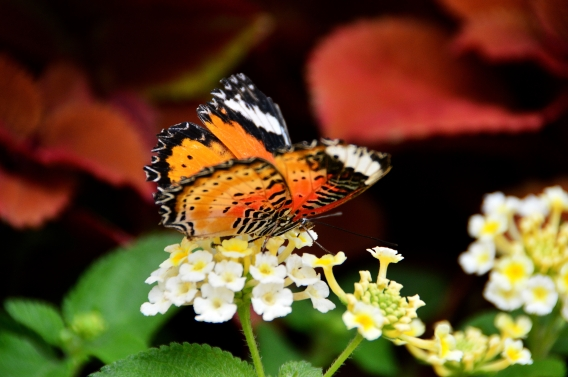 krohnconservatory 2013 butterflies 279