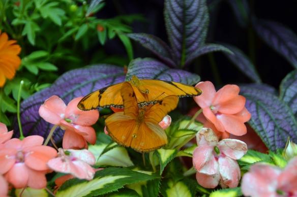 krohnconservatory 2013 butterflies 107